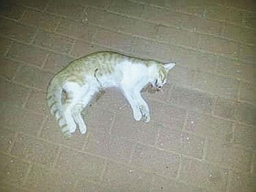 החתול המת