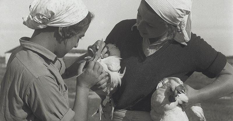 """מתיישבות בקבוצת רודגס, ליד פתח תקוה, בוחנות תרנגולות מהלול צילום קלוגר זולטן לע""""מ"""
