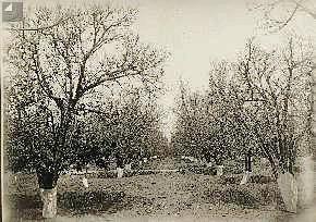 """עצי הדרים בהתקפת ארבה 1915 צילום סוסקין הארכיון לתולדות פתח תקוה ע""""ש עודד ירקוני"""