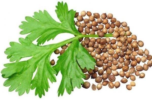 להגנה על רקמת הקיבה. זרעי כוסברה (צילום: Depositphotos)